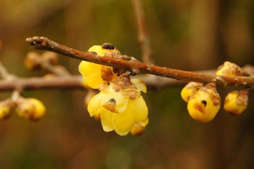 蝋梅の花の写真です