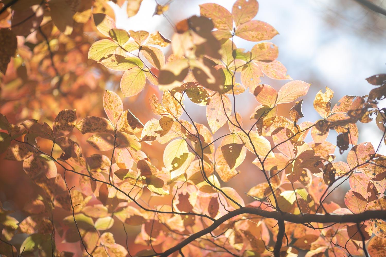 秋の軽井沢の紅葉の写真です