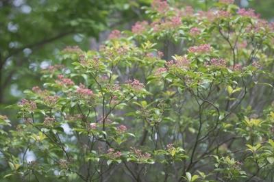 軽井沢の春の木々の蕾